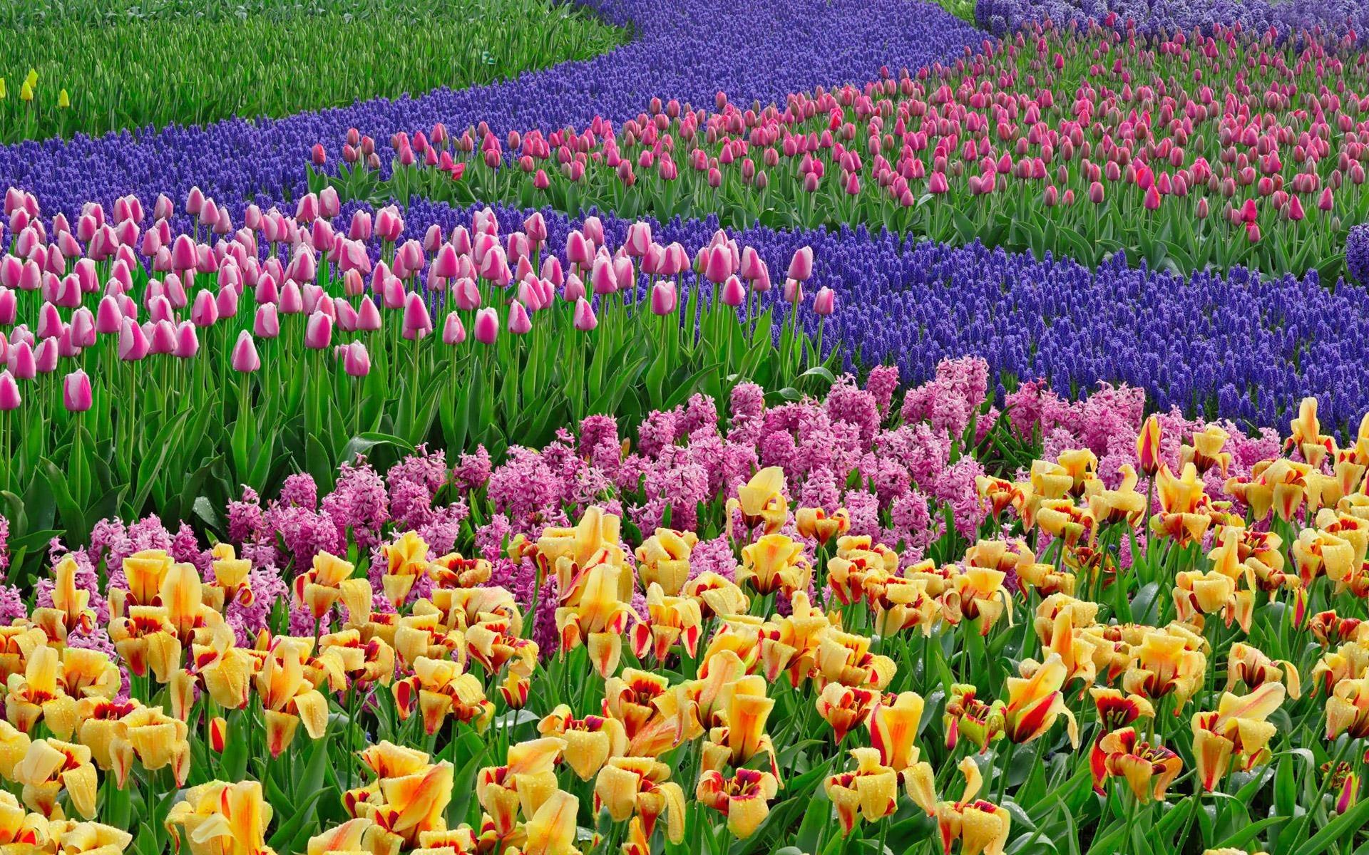 نجف آباد در بین سه شهرستان برتر استان از لحاظ تولید گل شب بو قرار دارد  نجف آباد در بين سه شهرستان برتر استان از لحاظ توليد گل شب بو قرار دارد