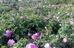 کشت ۲۵ هکتار گل محمدی در نجف آباد