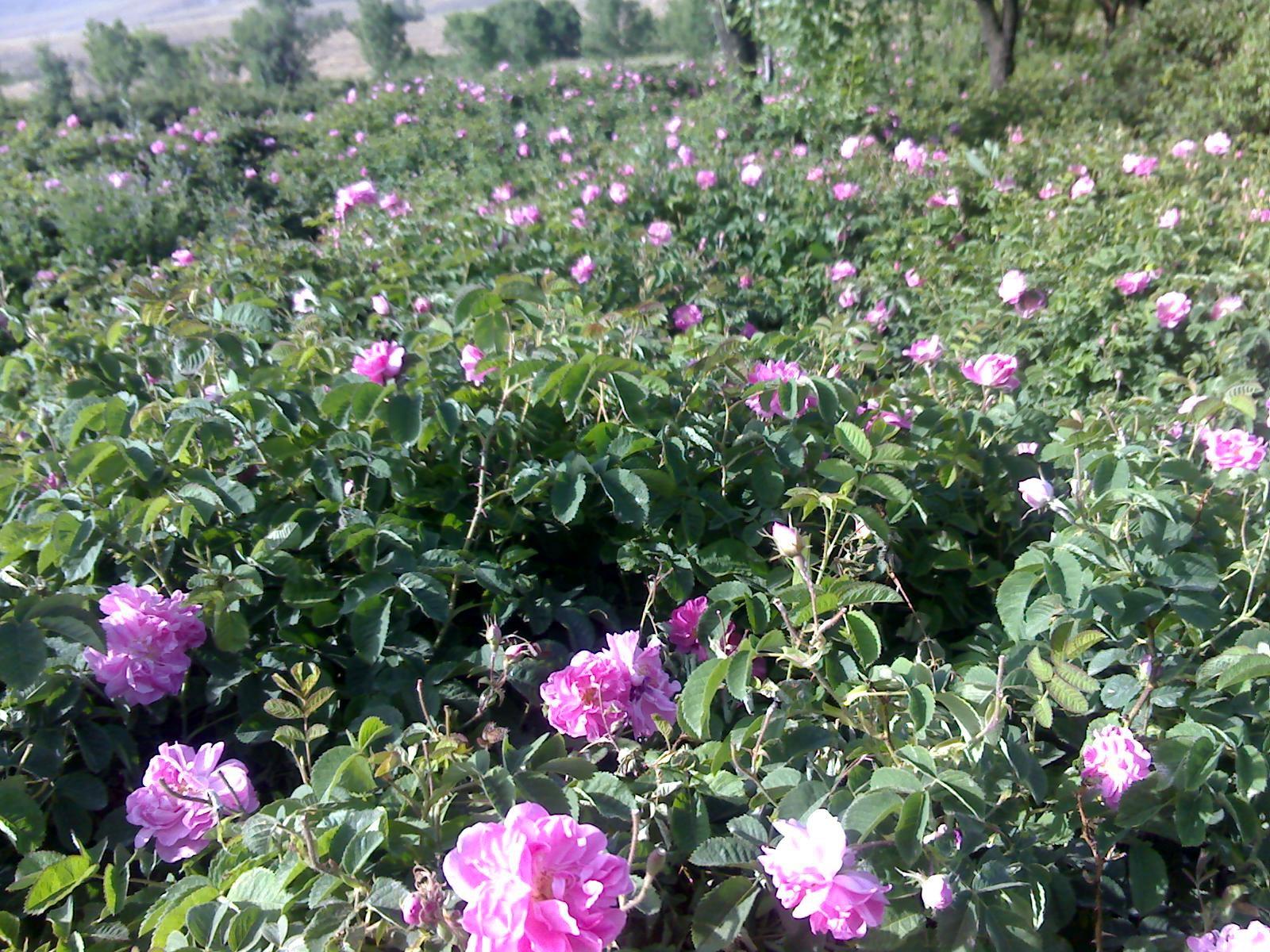 کشت  انبوه گل محمدی در زمین های کشاورزی نجف آباد  در دست مطالعه و بررسی است