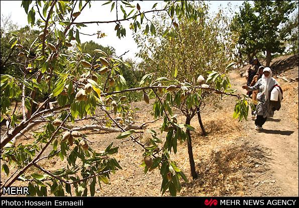 برداشت مکانیزه سه هکتار از باغات بادام نجف آباد