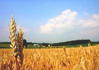 اشتغال ۴۰ هزار نفر در بخش کشاورزی نجف آباد اشتغال اشتغال ۴۰ هزار نفر در بخش کشاورزی نجف آباد