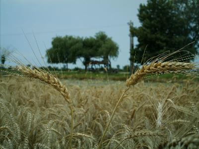 کشاورزی اشتغال اشتغال ۴۰ هزار نفر در بخش کشاورزی نجف آباد               3