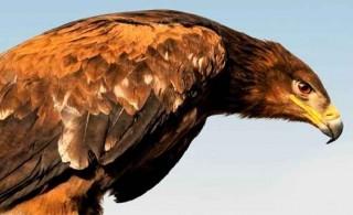 رهاسازی عقاب طلایی در حیات وحش قمیشلو