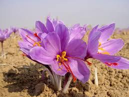 برداشت ۹۶۰کیلو زعفران در نجف آباد
