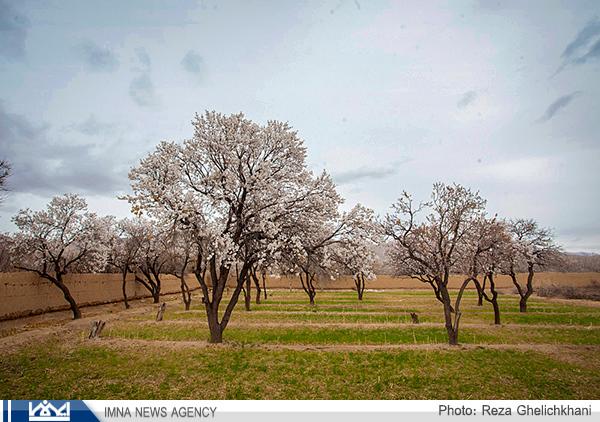شکوفه های زمستانی بادام در نجف آباد
