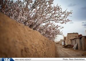شکوفه های بادام در نجف آباد  صادرات ۷۰ درصد بادام نجف آباد به هند و حاشیه خلیج فارس+فیلم صادرات ۷۰ درصد بادام نجف آباد به هند و حاشیه خلیج فارس+فیلم                                                   5 300x211