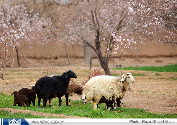 طرح تست تشخیصی سل دامی به روش چین دمی در نجف آباد اصفهان اجرا شد