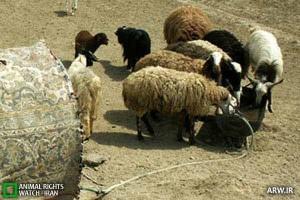 گوسفند گوسفند چرانی در بلوار طالقانی نجف آباد+فیلم گوسفند چرانی در بلوار طالقانی نجف آباد+فیلم              300x200
