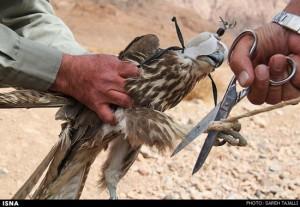 پرنده شکاری رها سازی پرنده شکاری در نجف آباد رها سازی پرنده شکاری در نجف آباد            300x207