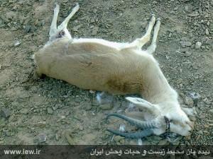 آهو۲ دستگیری قاتل بی رحم آهوی قمیشلو+ تصویر دستگیری قاتل بی رحم آهوی قمیشلو+ تصویر       2 300x225