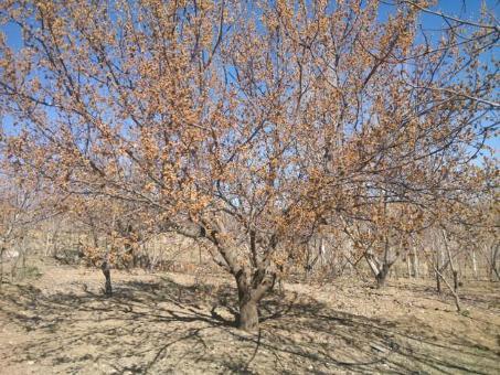 سرمازدگی درختان و یک روش ابتکاری