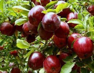 میوه عید توزیع 370 تن میوه عید در نجف آباد        300x233