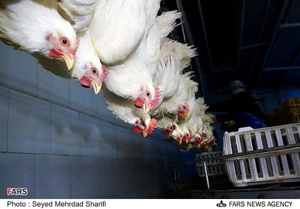 قرنطینه چهار مرغداری در نجف آباد