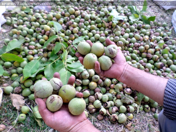 کاهش ۲۰درصدی برداشت گردو در نجف آباد  کاهش 20درصدی برداشت گردو در نجف آباد          1