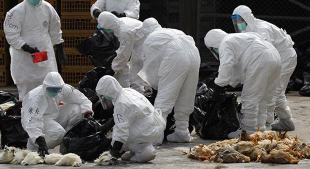 نابودی ۱۶۶هزار مرغ و بوقلمون