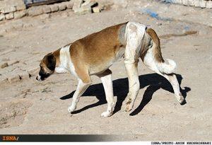 سگ ولگرد سگ های ولگرد و جیب و جان مردم نجف آباد سگ های ولگرد و جیب و جان مردم نجف آباد/ نگهداری از 100سگ      1 300x205