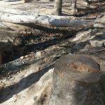 قطع درختان بیشه و پاسخ مسئولان+تصاویر قطع درختان بیشه و پاسخ مسئولان+تصاویر                              3 150x150