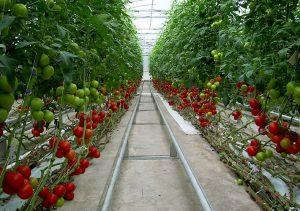 گوجه گلخانه ای امکان کنترل بیولوژیک آفات در نجف آباد امکان کنترل بیولوژیک آفات در نجف آباد 118327l 300x211