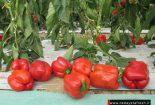 فلفل دلمه رنگی گلخانه ای ، کاشت، برداشت ، صادرات  فلفل دلمه رنگی گلخانه ای ، کاشت، برداشت ، صادرات 1508917841 img 5636 155x105
