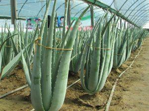 آلوئه ورا رونق کشاورزی با پرورش آلوئه ورا رونق کشاورزی با پرورش آلوئه ورا 475853 506 300x225