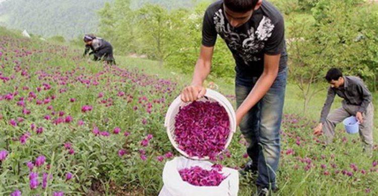 تولید و فرآوری گیاهان دارویی در اصفهان+ فیلم