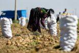 اشک و آه کشاورزان از بی تدبیری مسئولان+ فیلم