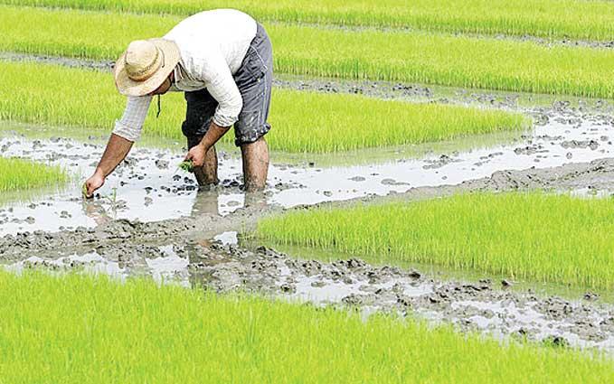 کاشت برنج در نجف آباد در اوج خشکسالی