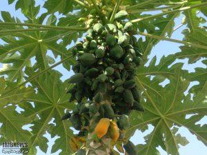 پاپایا خربزه درختی میوه ی گرمسیری پاپایا(خربزه درختی) گنجی پنهان میوه ی گرمسیری پاپایا(خربزه درختی) گنجی پنهان 1555154 518 300x225