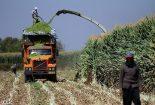 برداشت ۱۵ هزار تن ذرت علوفه ای در نجف آباد