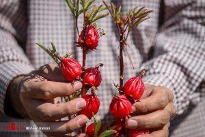 چای قرمز کاشت چای قرمز در نجف آباد/۷۰درصد صرفه جویی در مصرف آب+فیلم کاشت چای قرمز در نجف آباد/۷۰درصد صرفه جویی در مصرف آب+فیلم                 300x200