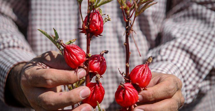 کاشت چای قرمز/۷۰درصد صرفه جویی در مصرف آب+ فیلم