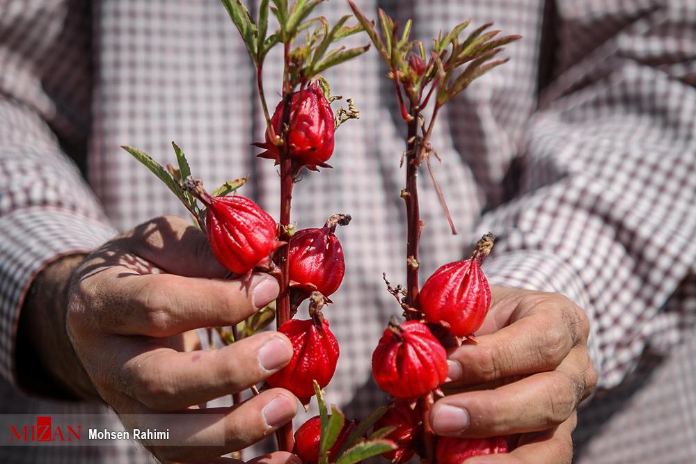 کاشت چای قرمز در نجف آباد/۷۰درصد صرفه جویی در مصرف آب+فیلم کاشت چای قرمز در نجف آباد/۷۰درصد صرفه جویی در مصرف آب+فیلم کاشت چای قرمز در نجف آباد/۷۰درصد صرفه جویی در مصرف آب+فیلم