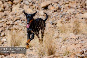 تمرین سگ های زنده یاب ایرانی و آلمانی در محدوده معدن سورمه نجف آباد مانور سگ های زنده یاب آلمانی در نجف آباد+تصاویر مانور سگ های زنده یاب آلمانی در نجف آباد+تصاویر                                                                     6 300x200