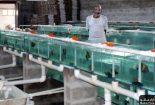 صادرات ماهی زینتی از نجف آباد صادرات صادرات ماهی زینتی از نجف آباد                                155x105