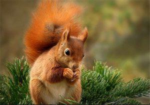 سنجاب ایرانی رهاسازی رهاسازی سنجاب در طبیعت نجف آباد                         300x209