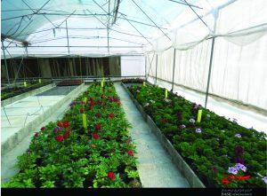 کاشت گل اشتغال زایی اشتغال زایی شرکت دانش بنیان با تکثیر گل + تصاویر                             3 300x221