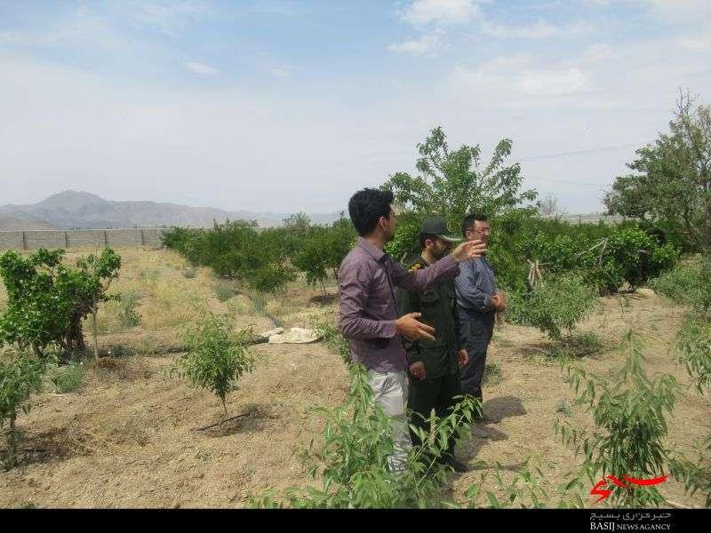 اقتصاد مقاومتی  تولید تولید انار و بادام ارگانیک در نجف آباد+ تصاویر                                    2