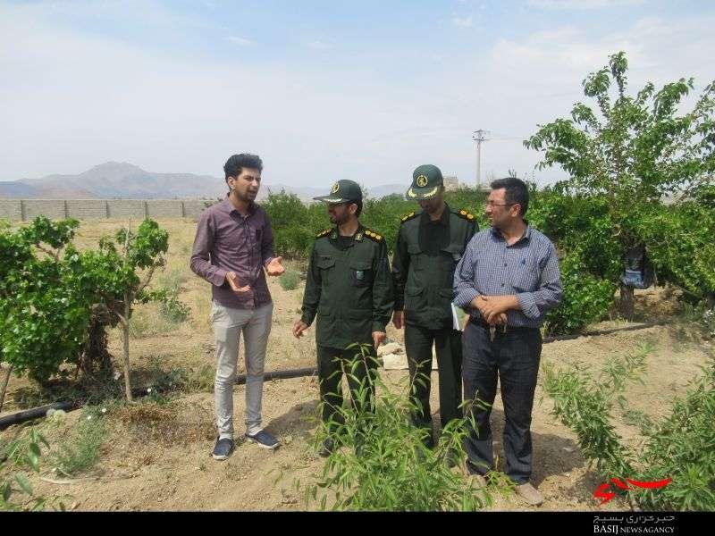 اقتصاد مقاومتی  تولید تولید انار و بادام ارگانیک در نجف آباد+ تصاویر