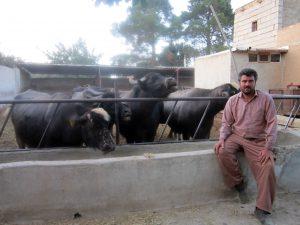 پرورش گاومیش پرورش پرورش گاومیش در نجف آباد + تصویر و فیلم                         1 300x225
