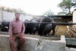 پرورش گاومیش در نجف آباد + تصویر و فیلم پرورش پرورش گاومیش در نجف آباد + تصویر و فیلم                         2 155x105