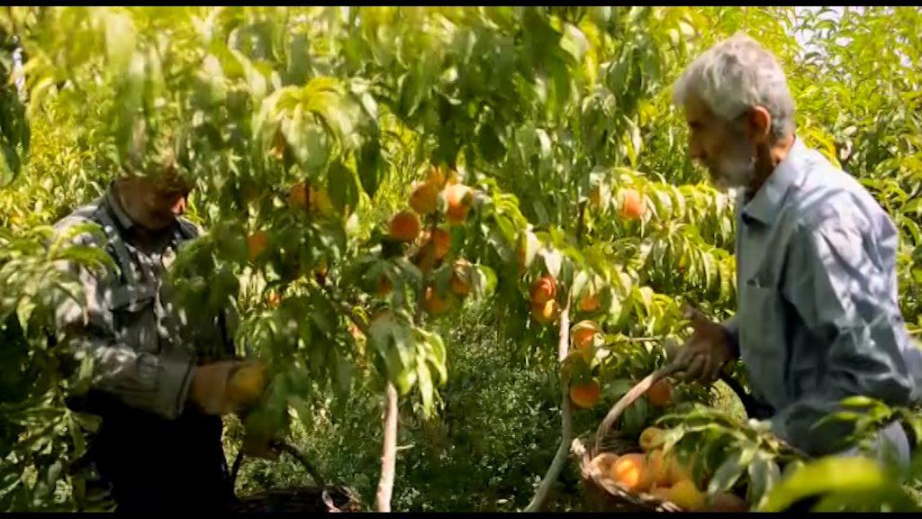 قلعه شاهی جشنواره جشنواره هلوی قلعه شاهی در گلدشت + تصاویر و فیلم                            2 1024x576
