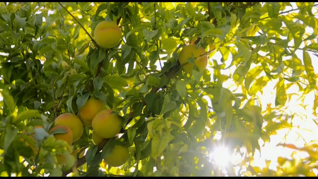 هلوی قلعه شاهی جشنواره جشنواره هلوی قلعه شاهی در گلدشت + تصاویر و فیلم                            4 1024x576
