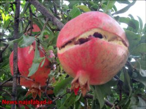 باغ انار در نجف آباد باغ انار باغ انار در نجف آباد + تصاویر 1571210538 E8fN2 300x225