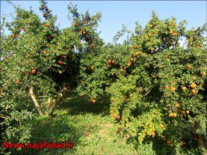 باغ انار در نجف آباد باغ انار باغ انار در نجف آباد + تصاویر 1571210549 T0oN9 300x225