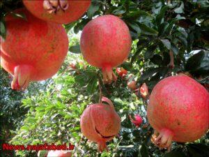 باغ انار در نجف آباد باغ انار باغ انار در نجف آباد + تصاویر 1571210554 W7tJ6 300x225