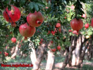 باغ انار در نجف آباد باغ انار باغ انار در نجف آباد + تصاویر 1571210560 K0tA7 300x225