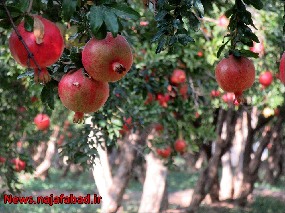 باغ انار در نجف آباد + تصاویر