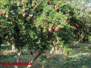 باغ انار در نجف آباد باغ انار باغ انار در نجف آباد + تصاویر 1571210574 Z2cT4 300x225