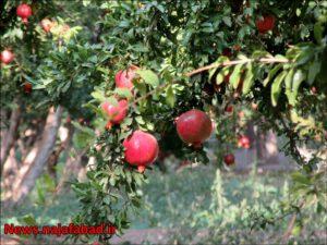 باغ انار در نجف آباد باغ انار باغ انار در نجف آباد + تصاویر 1571210581 D8rH5 300x225