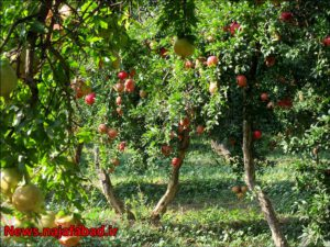 باغ انار باغ انار باغ انار در نجف آباد + تصاویر 1571210584 W6nU3 1 300x225